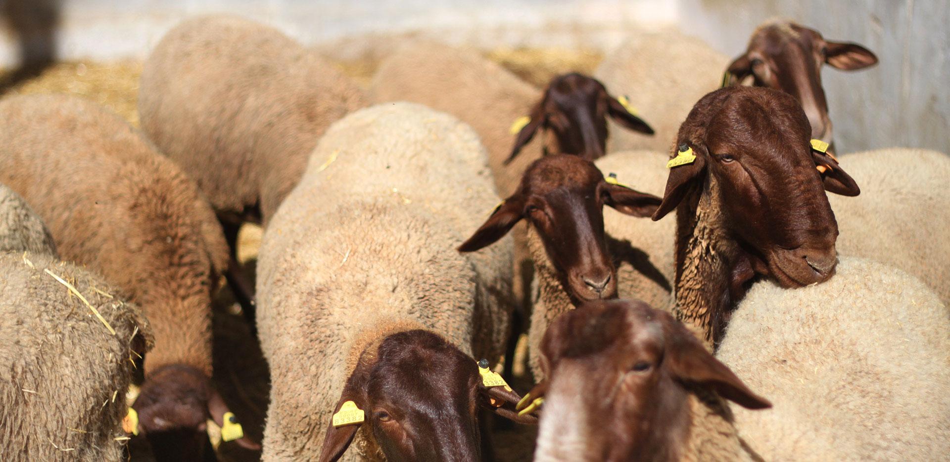 sustainable livestock production